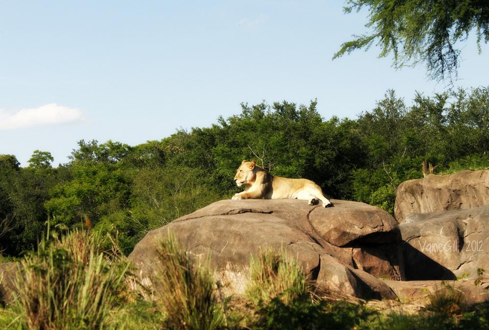 walt disney world disney's animal kingdom lion kilimanjaro safaris rock